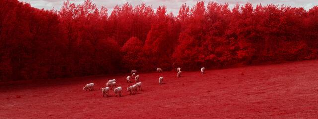 les vaches bretonnes voient rouge
