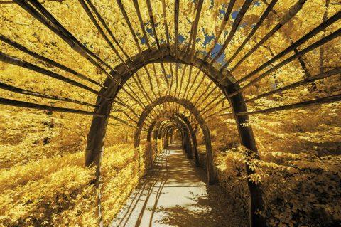 Tunnel végétal des jardins de Marqueyssac. Photographie infrarouge issue de la série Périg'Or Jaune et réalisée par le photographe Pierre-Louis Ferrer, spécialiste en photographie dans l'ultraviolet et l'infrarouge.